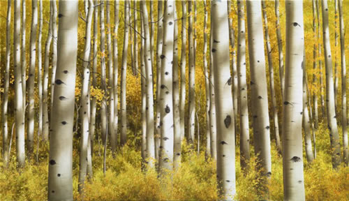 Alexander Volkov Collector's Edition - Aspen Morning
